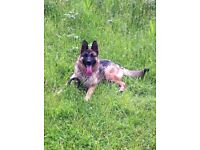 Quality bred Kc registered german shephed puppys