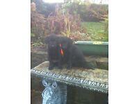 Alsatian/Labrador pups