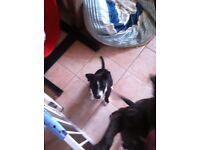 Staffie puppy girl