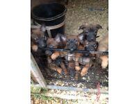 Belgian Shepherd (Malinois) pups for sale