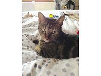 Missing tortoishell cat