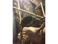 Male Yemen Chameleon + Terrarium