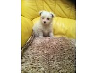 Pomeranian x Maltese puppy's ,microchipped and vacanated