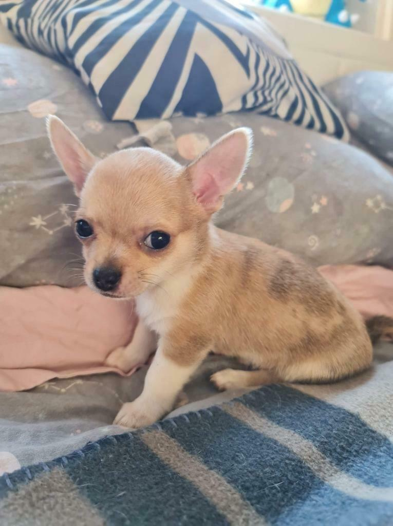 Rare Merle Chihuahua Puppy In Saughton Edinburgh Gumtree