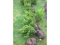 Box hedging plants