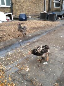 2 female Brahma Chicks for sale aged 3 months