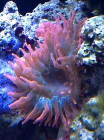 Marine reef rose tip bubble anemone,frog spawn coral & candy cane
