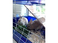 2 rabbits with indoor cage, food, sawdust and hay
