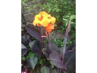 Canna lily,