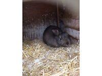15 month old Nederland dwarf male rabbit