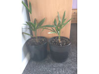 2 trachycarpus fortunei