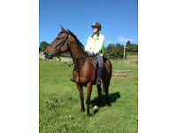 15.3 Thoroughbred Bay Mare 11 Years Old