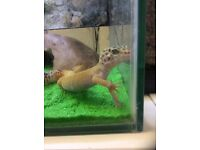 Leopard gecko and set up