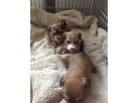 Jack Russell x Yorkshire terrier puppies
