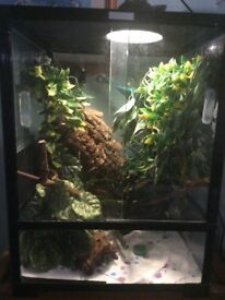 A stunning male crested Gecko with full set up.