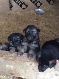 Big German shepherd pups