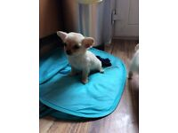 Chihuahua felmale