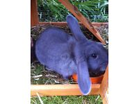 Rabbit medium Dutch blue in need of a loving home 18 months old