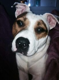 2 Year Old Female Staffie Dog White And Brown, Love Heart Shape Patch