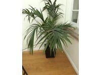 2 established house plants - large