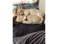 2 Female chihuahua puppies