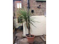 Cordyline Australis cabbage palm approx 8ft
