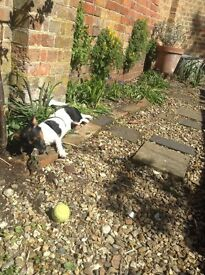 Jack russle pup for sale