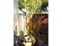 Fresh Cut Bamboo Sticks