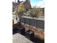 2x Olive trees £35 each
