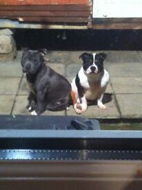 Blue staffordshire bull terrier and a blue and white old english bulldog