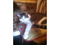 Tabby male cat to a good home free