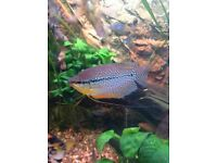Gourami's x2 (tropical fish)