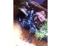 Scorpions for sale, Emperor female & Flat Rock sling