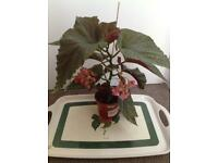 Houseplant Begonias