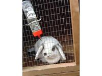 Lop eared rabbit with hutch £70 each or £100 for both