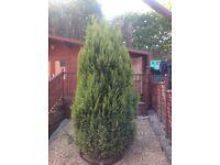 2 x Conifers (9 feet approx)
