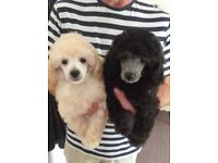 Stunning Toy Poodle Puppies Ready Now!