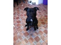 Black Male staffie 2years old