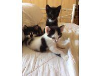Lovely Boy Kittens Grays Essex