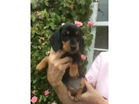 KC registered PRA clear Miniature Dachshund Pups