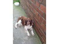 I have 2 lovely spaniels who are FREE to a loving family home, due to the fact I'm emigrating