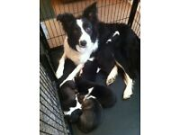 Border Collie X Siberian Husky Puppies For Sale