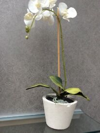 Ornamental white orchid in pot.