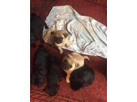 Pug puppies £500