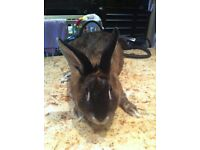 female dwarf bunny rabbit
