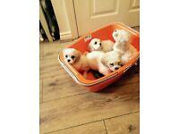 Beautiful Cavachon puppies for sale