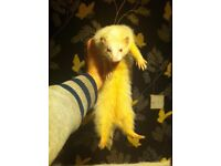 5 ferrets 3 hob 2 Jill and double hutch