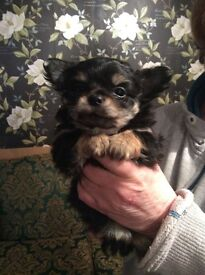 Chihuahua pups ,vet checked ,wormed,microchipped, ready shortly,deposit secures ,pure bred,beautiful