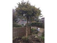 Mature variegated holly tree approx 8ft tall