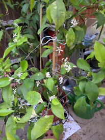 Lemon tree (about 1.5m high in a pot)